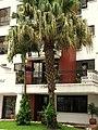 Palma livistonia (Livistona chinensis) (14528006632).jpg