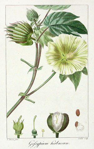 Pancrace Bessa - Gossypium herbaceum