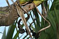 Pandanus utilis 20zz.jpg