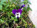 Pansy flower pareidolia face.jpg
