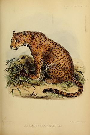 North American jaguar - Illustration of a western Mexican jaguar