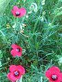 Papaver hybridum SierraMadrona Habito11 5 16.jpg
