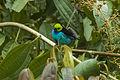 Paradise Tanager - Manu NP - Perù 7844 (23224160816).jpg