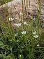 Parnassia palustris Simo, Finland 14.07.2013.jpg