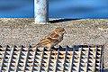 Passerotto (Passer italiae) - Italian sparrow, Stresa, Italia, 08.2018 (3).jpg