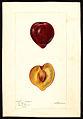 Passmore Wickson-plum-1896.jpg
