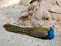Pavo (genus) طاووس هندی 05.jpg