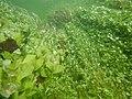 """Paysage subaquatique Subaquatic landscape rivière """"Les Baillons"""" à Enquin-sur-Baillons F Lamiot 32.jpg"""