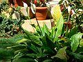Peace Lilies (418535039).jpg