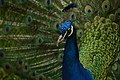 Peacocking (Unsplash).jpg