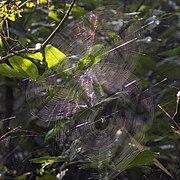Pear-shaped leucauge spider (Opadometa fastigata) webs.jpg