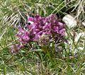 Pedicularis verticillata 060707.jpg