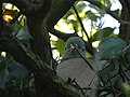 Peeping Dove.jpg