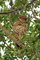 Pel's fishing owl, Scotopelia pel, at uMkhuze Game Reserve, kwaZulu-Natal, South Africa (15382810902).jpg