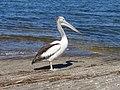 Pelican - panoramio.jpg