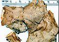 Peltigera aphthosa-1.jpg