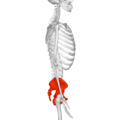 Pelvis (male) 01 - lateral view.png