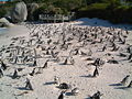 Penguins on boulders beach.jpg