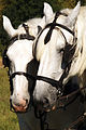 Percherons Blancs Cl J Weber0004 (24057356526).jpg