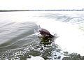 Perdido Bay Dolphin 04.jpg