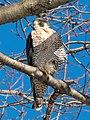 Peregrine falcon in CP (40969).jpg