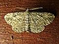 Peribatodes rhomboidaria (Geometridae) - (imago), Arnhem, the Netherlands.jpg