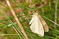 Perinephela.lancealis.-.lindsey.jpg