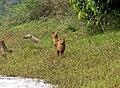 Periyar National Park foxes.jpg