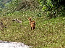 Periyar National Park foxes.jpg
