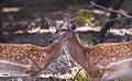 Persian Fallow Deers in Dasht-e Naz Wildlife Refuge 2020-06-02 24.jpg