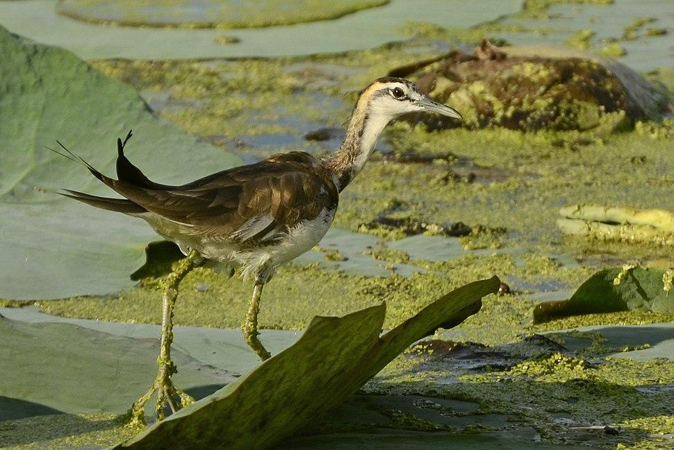 Pheasant-tailed jacana (Hydrophasianus chirurgus) from Aranthangi JEG3996