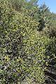 Phillyrea latifolia kz4.jpg