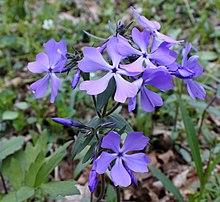 Phlox Divaricata Wikipedia