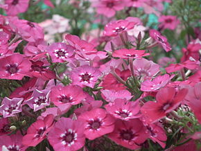 Description de l'image Phlox from Lalbagh Flowershow - August 2012 4567.JPG.