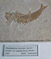 Pholidophorus micronyx - Caturus brevis.jpg