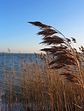 Reed stalks with water surface in background