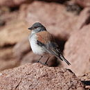 Phrygilus dorsalis Red-backed Sierra Finch