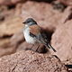 Phrygilus dorsalis Red-backed Sierra Finch.JPG