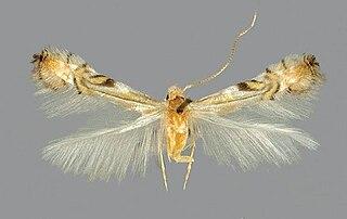 <i>Phyllocnistis</i>