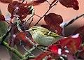 Phylloscopus inornatus, Netherlands 1 croped.jpg
