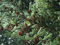 Picea jezoensis hondoensis.jpg