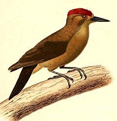 240px-picoides_fumigatus_1847