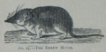 Picture Natural History - No 15 - The Shrew Mouse.png