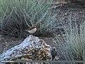 Pied Wheatear (Oenanthe pleschanka) (28572804735).jpg