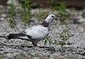 Pigeon (48082840381).jpg