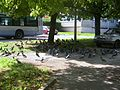 Pigeons Besançon.JPG