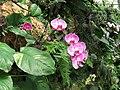 PikiWiki Israel 1686 orchids סחלבים.jpg