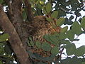 PikiWiki Israel 31440 Birds nest on a Carob tree.JPG