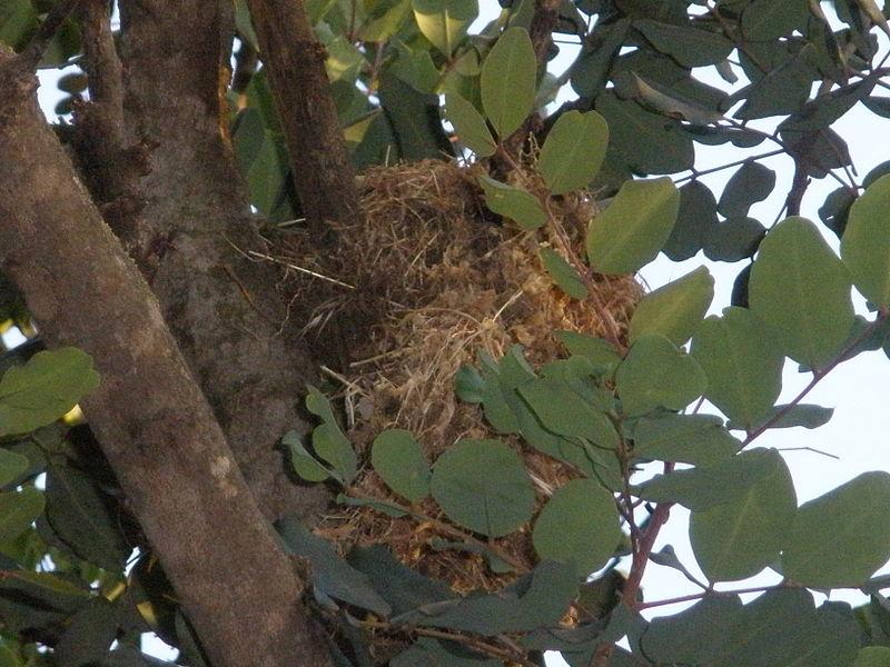 קן ציפור על עץ החרוב