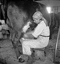 PikiWiki Israel 4794 Milking cow.jpg